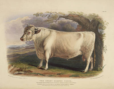 Bull Photograph - The Long Horned Breed by British Library