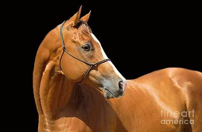 Photograph - The Look Of The Thoroughbred by Cheryl Poland