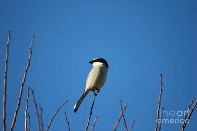 Photograph - The Predator Lookout Shrike Bird Art by Reid Callaway