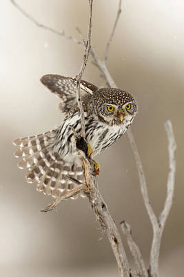 Pygmy Owl Wall Art - Photograph - The Lookout by Sandy Sisti