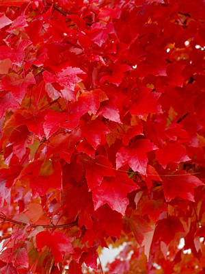 Photograph - The Love Of Red Leaves by Teri Schuster