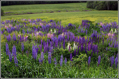 Photograph - The Lupine Field by Wayne King