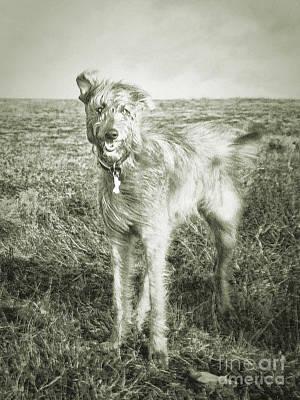 Irish Wolfhound Photograph - The Lurcher  by Rob Hawkins