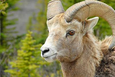 Photograph - The Magnificent Big Horn Ram by Dyle   Warren