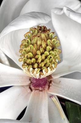 The Magnolia Debutante Art Print by JC Findley