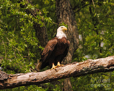 Photograph - The Majestic Eagle II by Jai Johnson