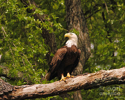 Photograph - The Majestic Eagle IIi by Jai Johnson