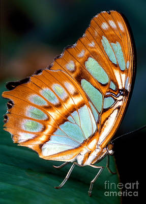 Photograph - The Malachite Butterfly 2 by Terry Elniski