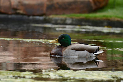 Photograph - The Mallard by Jeanne May