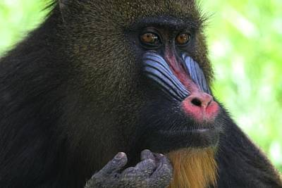 The Mandrill Art Print