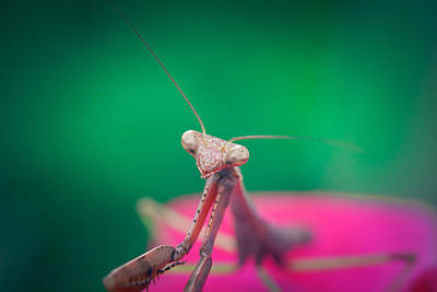 Bug Eyes Photograph - The Mantis by Shane Holsclaw