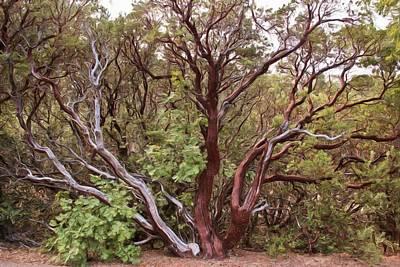 The Manzanita Tree Print by Heidi Smith