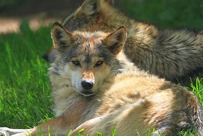Wolf Photograph - The Mexican Wolf by Dan Sproul