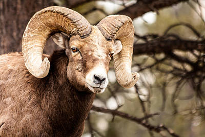 Photograph - The Mighty Bighorn by Teri Virbickis