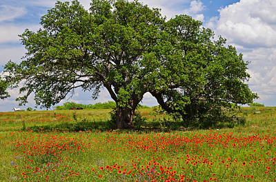 Photograph - The Mighty Oak by Lynn Bauer