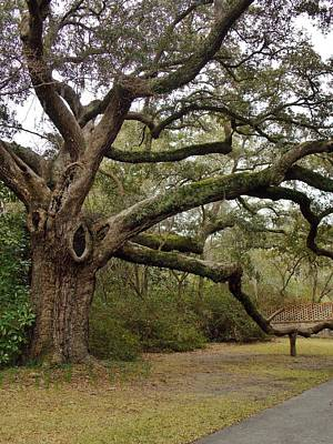 Photograph - The Mighty Oak by Stacy Sikes