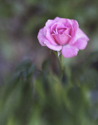 Photograph - The Miniature Rose by David and Carol Kelly