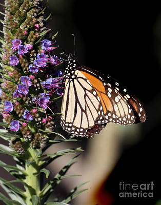 Photograph - The Monarch Butterflie by California Views Mr Pat Hathaway Archives
