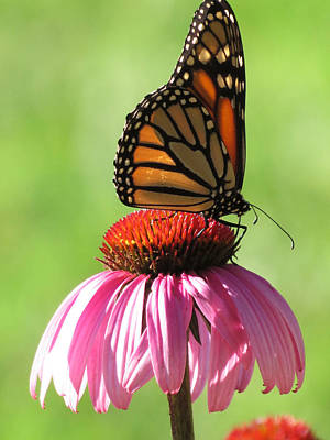 Butterfly Photograph - The Monarch Butterfly by Rebecca Overton