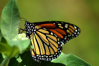 Fluttering Photograph - The Monarch by Camille Lopez