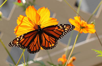 Art Print featuring the photograph The Monarch by Cathy Donohoue