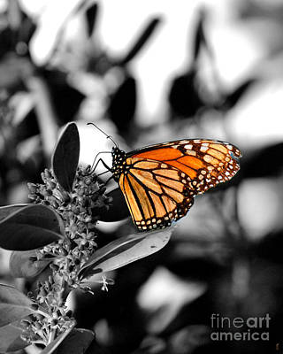 Photograph - The Monarch by Jai Johnson