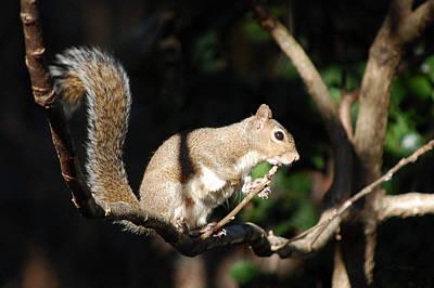 Photograph - The Morning Sun - Gray Squirrel by rd Erickson