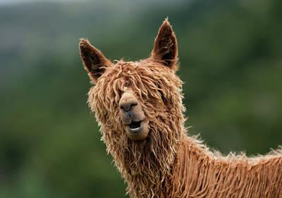 Llama Photograph - The Muppet Show by Vladimir Driga
