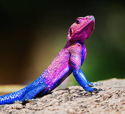 Africa Photograph - The Mwanza Flat-headed Agama. Serengeti. Tanzania by Michal Bednarek