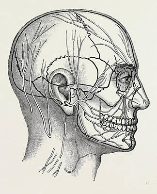 Healthcare And Medicine Drawing - The Nerves Of The Face And Of The Side Of The Head by Litz Collection