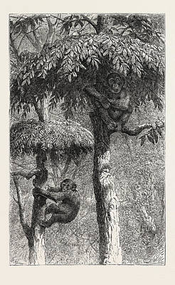 Ape Drawing - The Nest-building Ape In His Shelter by English School