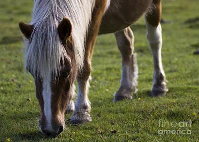 Palomino Horse Photograph - The New Forest Pony by Angel Ciesniarska