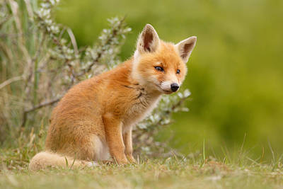Juvenile Photograph - The New Kit ...curious Red Fox Cub by Roeselien Raimond