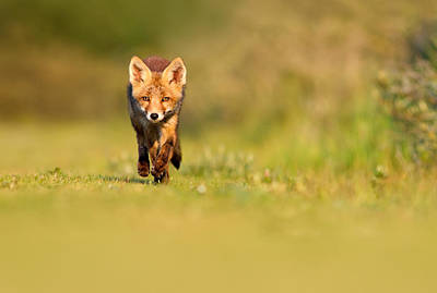 Sorrel Photograph - The New Kit On The Grass - Red Fox Cub by Roeselien Raimond