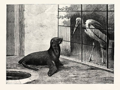 Sea Lion Drawing - The New Neighbour Cape Sea Lion And Adjutant Bird by English School