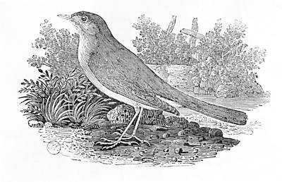 Song Bird Photograph - The Nightingale Luscinia Megarhynchos From The History Of British Birds Volume I, Pub. 1797 Wood by Thomas Bewick