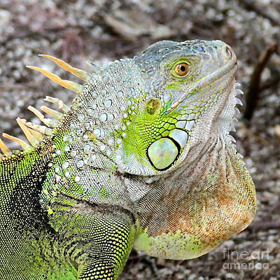 Photograph - The Old Iguana by Carol Groenen