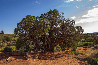 Photograph - The Old Juniper Tree by Sandra Selle Rodriguez