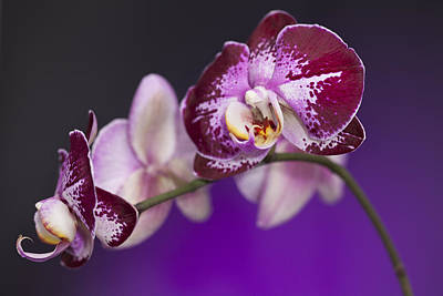 The Orchid Watches Art Print