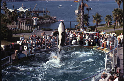 Photograph - The Original Shamu Orca Sea World San Diego 1967 by California Views Archives Mr Pat Hathaway Archives