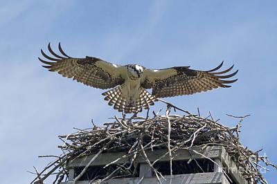 Photograph - The Osprey Landing by Andrea Kollo