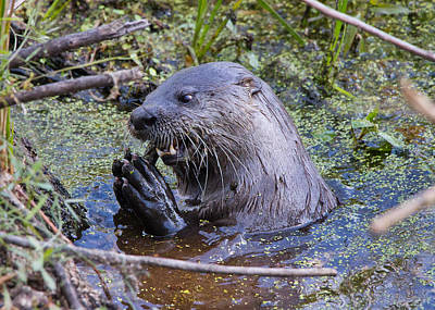 Photograph - The Otter Eats by Phil Stone