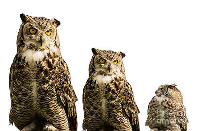 Photograph - The Owl Trio by Gry Thunes