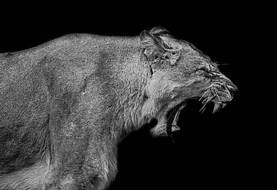 Lionesses Photograph - The Pain Within by Paul Neville