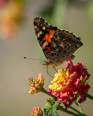 Photograph - The Painted Lady by Ernie Echols