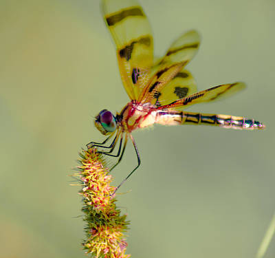 Sean Rights Managed Images - The Painted Skimmer Royalty-Free Image by Optical Playground By MP Ray