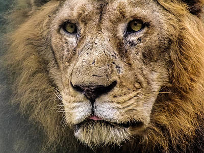 Photograph - The Panting African King by Black Pearl