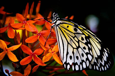 Idea Leuconoe Photograph - The Paper Kite Butterfly by David Patterson