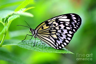 Butterfly Photograph - The Paper Kite Or Rice Paper Or Large Tree Nymph Butterfly Also Known As Idea Leuconoe 2 by Amanda Mohler