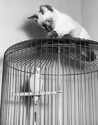 Parakeet Photograph - The Parakeet And The Cat by Underwood Archives